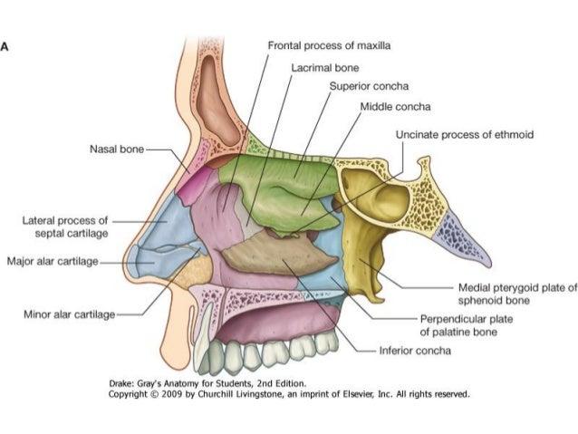 Otorrinolaringolog a anatom a de la nariz y senos for Pared lateral de la cavidad nasal