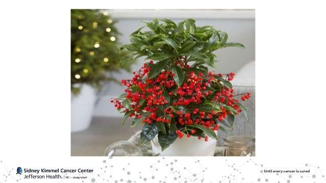 Ardisia Crenata • AKA Coral Berry, Christmas Berry, Australian Holly • Primrose family of plants • Compound FR900359 extra...