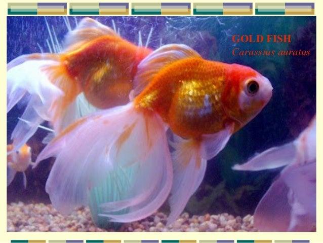 Ornamental fish breeding for Ornamental fish