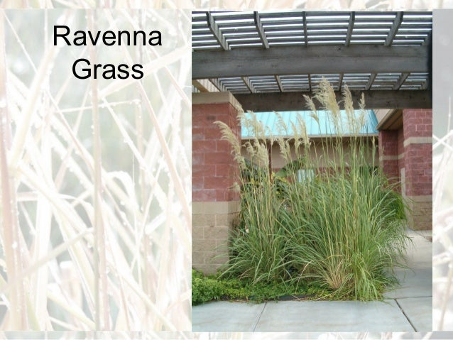 Ornamental grasses for master gardeners for Ornamental grass in containers for privacy