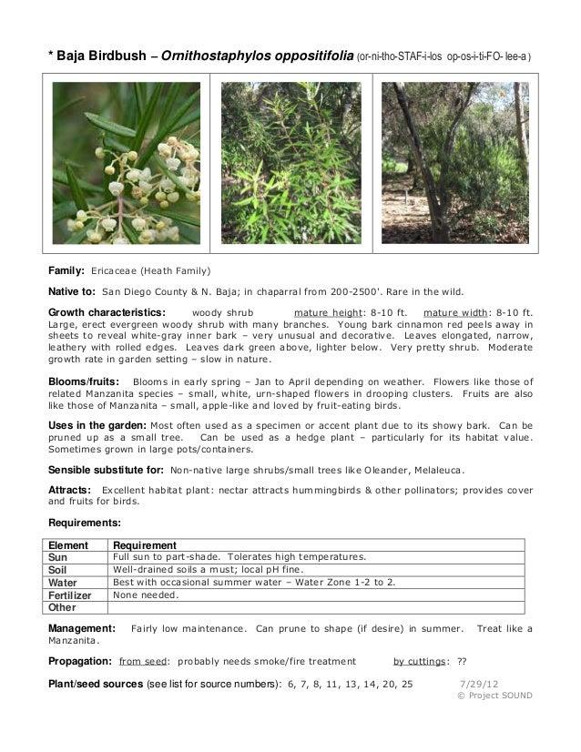* Baja Birdbush – Ornithostaphylos oppositifolia (or-ni-tho-STAF-i-los op-os-i-ti-FO- lee-a )  Family: Ericaceae (Heath Fa...