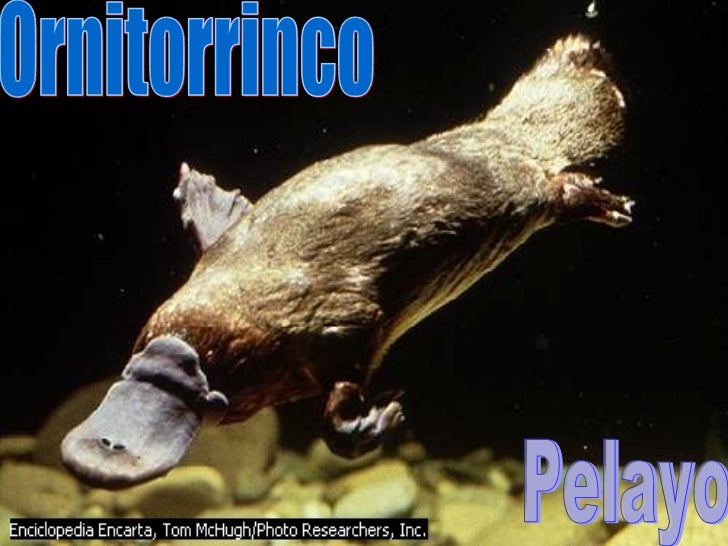 Ornitorrinco Pelayo