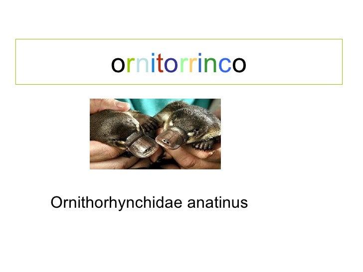 o r n i t o r r i n c o Ornithorhynchidae anatinus