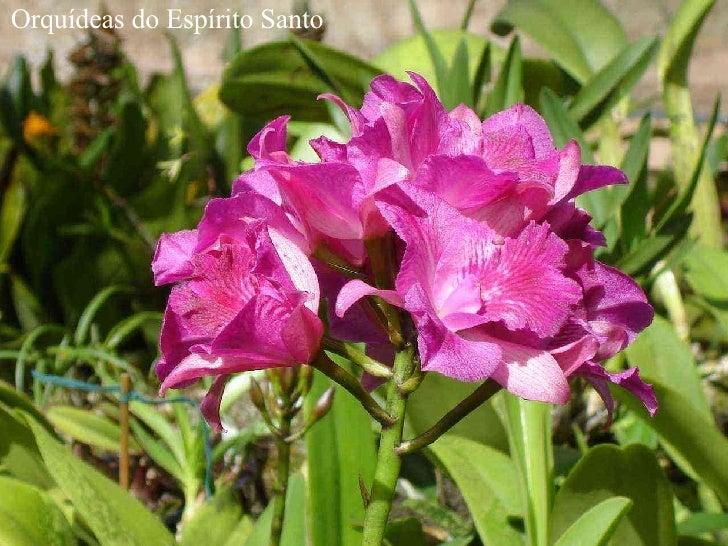 Orquídeas do Espírito Santo