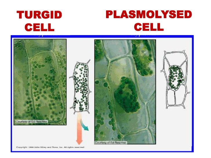 plant tissues essay You may also sort these by color rating or essay  [6,7] [tags: replacing biological tissues] 1434  when a plant cell is placed in a sucrose.