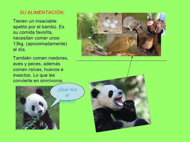Oso panda m angeles - Reproduccion del bambu ...