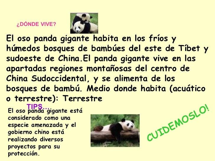 ¿DÓNDE VIVE?  El oso panda gigante habita en los fríos y húmedos bosques de bambúes del este de Tíbet y sudoeste de China....