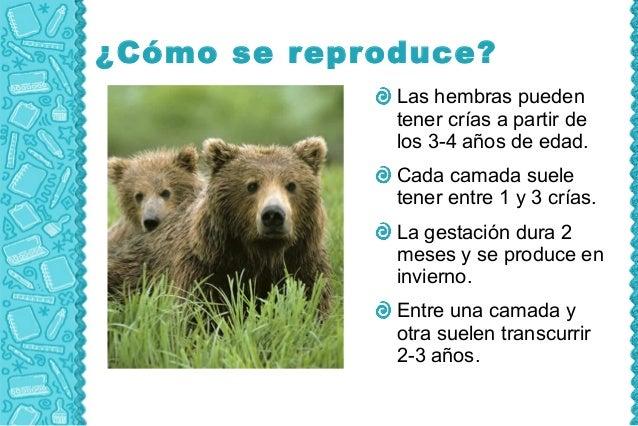 ¿Cómo se reproduce?              Las hembras pueden              tener crías a partir de              los 3-4 años de edad...