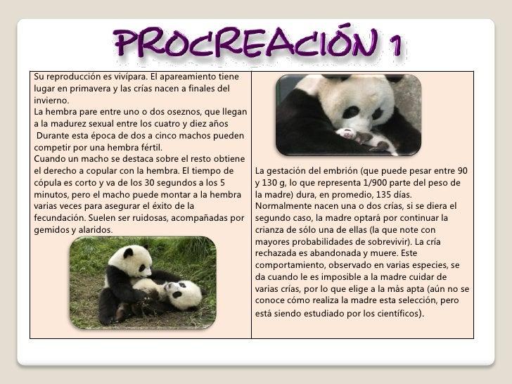 Osos panda - Reproduccion del bambu ...