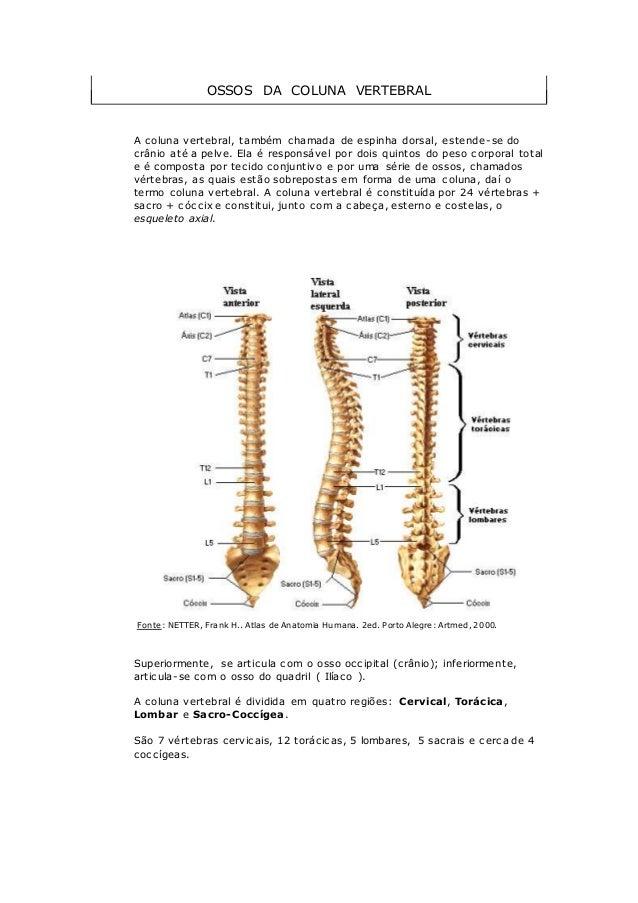 OSSOS DA COLUNA VERTEBRAL A coluna vertebral, também chamada de espinha dorsal, estende-se do crânio até a pelve. Ela é re...