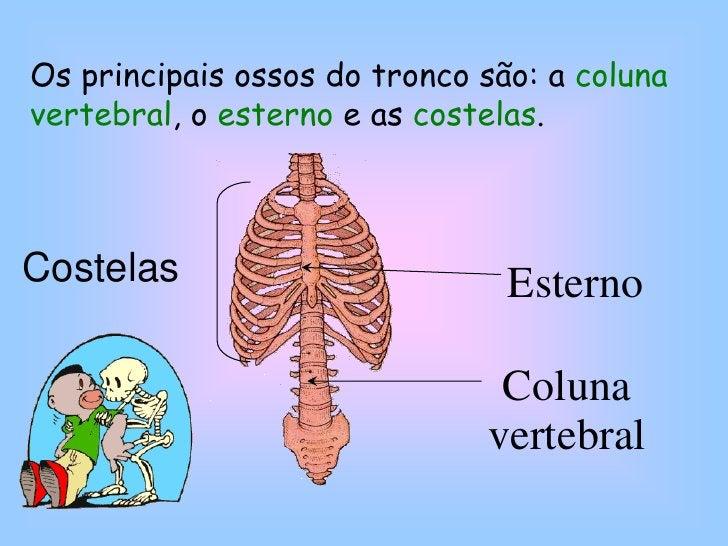 Esterno<br />Costelas<br />Coluna vertebral<br />Os principais ossos do tronco são: a coluna vertebral, o esterno e as cos...