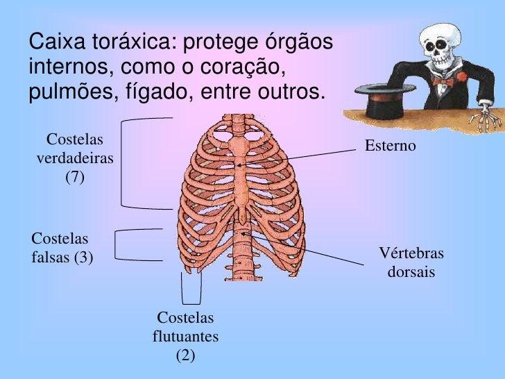 Costelas verdadeiras (7)<br />Esterno<br />Costelas falsas (3)<br />Vértebras dorsais<br />Costelasflutuantes (2)<br />Cai...