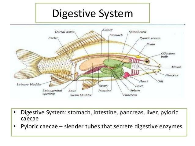 Fish Digestive Diagram Trusted Wiring Diagram