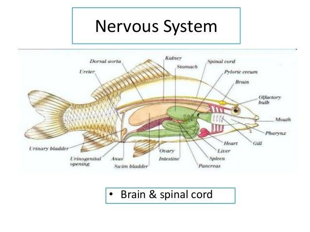 Betta fish digestive system