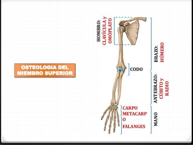 Osteología del miembro superior i (Anatomía Humana)