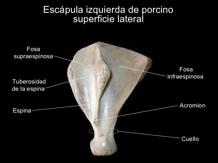 Osteología del miembro torácico