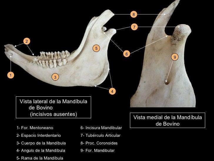 Osteología y artrología de cabeza