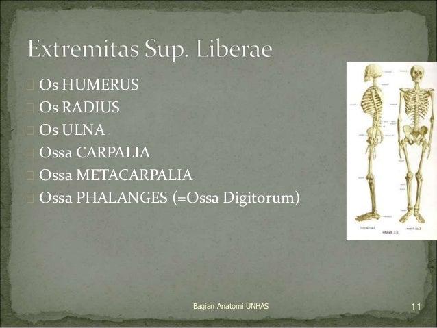  Os HUMERUS   Os RADIUS   Os ULNA   Ossa CARPALIA   Ossa METACARPALIA   Ossa PHALANGES (=Ossa Digitorum)  Bagian Ana...