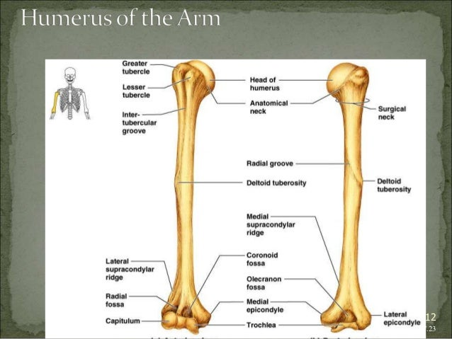 Bagian Anatomi UNHAS 12  Figure 7.23