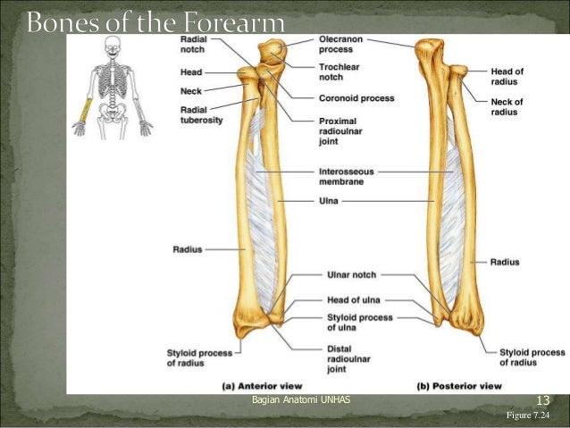 Bagian Anatomi UNHAS 13  Figure 7.24