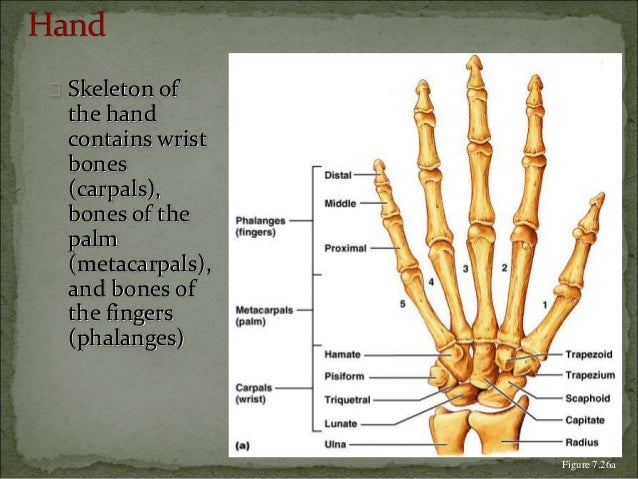  Skeleton of  the hand  contains wrist  bones  (carpals),  bones of the  palm  (metacarpals),  and bones of  the fingers ...