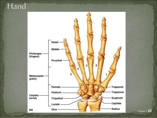 Bagian Anatomi UNHAS Figure 7.2169a