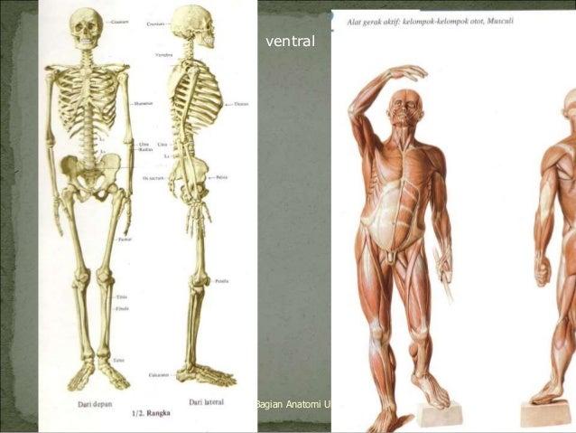 ventral  dorsal  Bagian Anatomi UNHAS 2