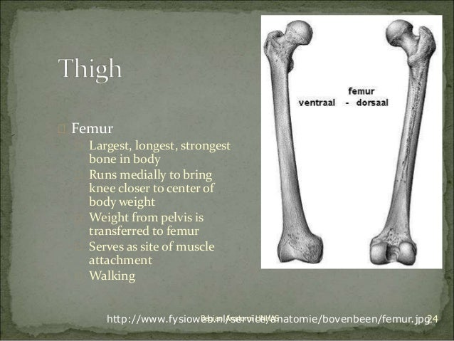  Femur   Largest, longest, strongest  bone in body   Runs medially to bring  knee closer to center of  body weight   W...