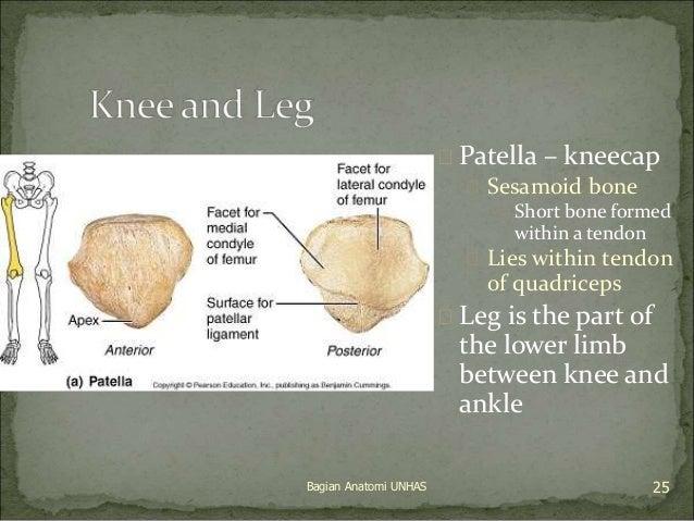  Patella – kneecap   Sesamoid bone   Short bone formed  within a tendon   Lies within tendon  of quadriceps   Leg is ...