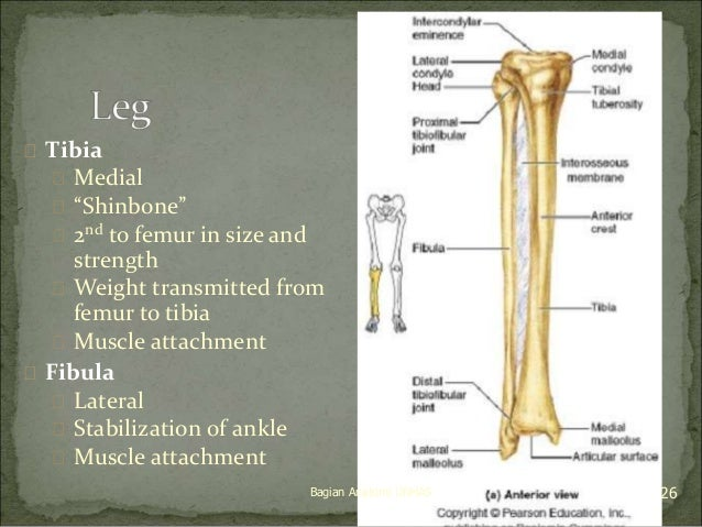 """ Tibia   Medial   """"Shinbone""""   2nd to femur in size and  strength   Weight transmitted from  femur to tibia   Muscle..."""
