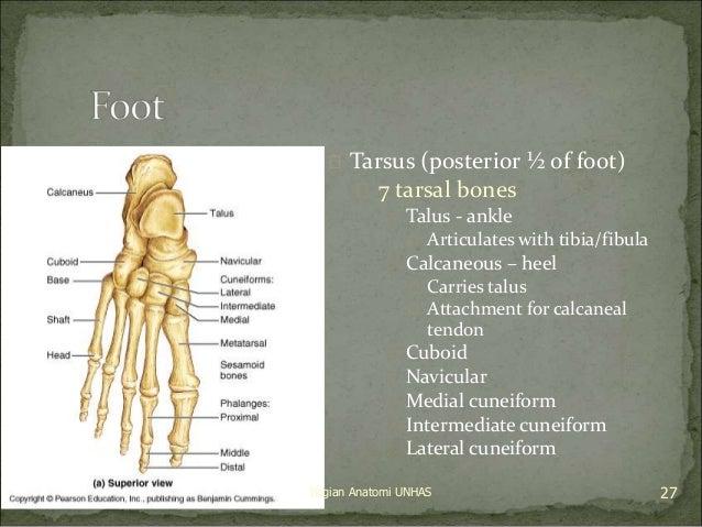  Tarsus (posterior ½ of foot)   7 tarsal bones   Talus - ankle   Articulates with tibia/fibula   Calcaneous – heel  ...