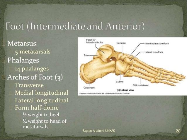  Metarsus   5 metatarsals   Phalanges   14 phalanges   Arches of Foot (3)   Transverse   Medial longitudinal   Lat...