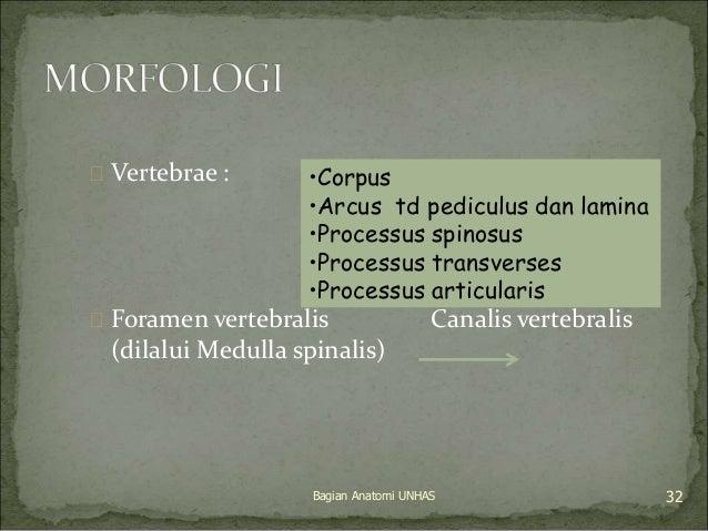  Vertebrae :  •Corpus  •Arcus td pediculus dan lamina  •Processus spinosus  •Processus transverses  •Processus articulari...
