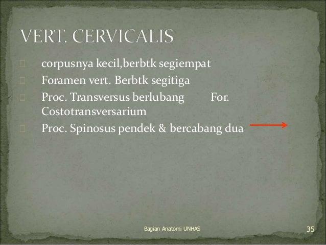  corpusnya kecil,berbtk segiempat   Foramen vert. Berbtk segitiga   Proc. Transversus berlubang For.  Costotransversari...
