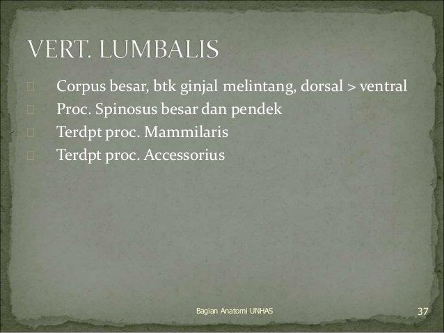  Corpus besar, btk ginjal melintang, dorsal > ventral   Proc. Spinosus besar dan pendek   Terdpt proc. Mammilaris   Te...