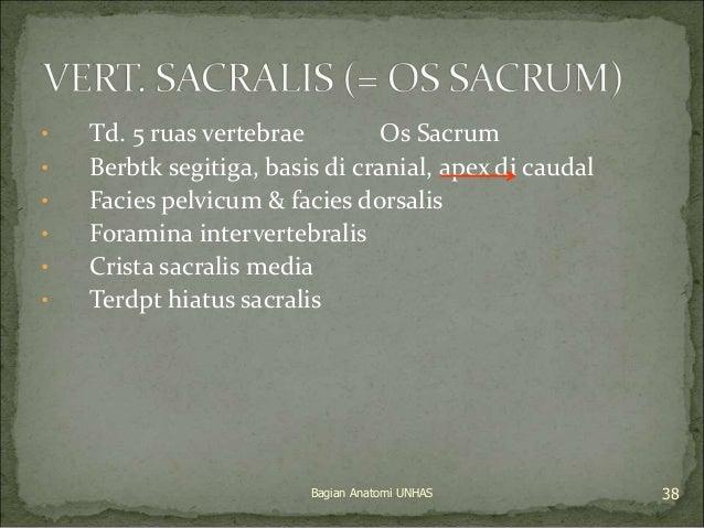 • Td. 5 ruas vertebrae Os Sacrum  • Berbtk segitiga, basis di cranial, apex di caudal  • Facies pelvicum & facies dorsalis...