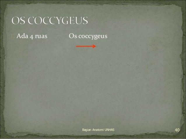  Ada 4 ruas Os coccygeus  Bagian Anatomi UNHAS 40