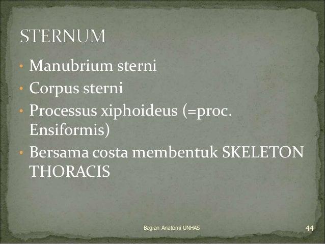 • Manubrium sterni  • Corpus sterni  • Processus xiphoideus (=proc.  Ensiformis)  • Bersama costa membentuk SKELETON  THOR...