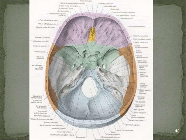 Bagian Anatomi UNHAS 48