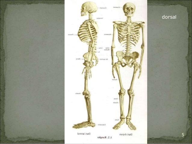 ventral  dorsal  Bagian Anatomi UNHAS 5