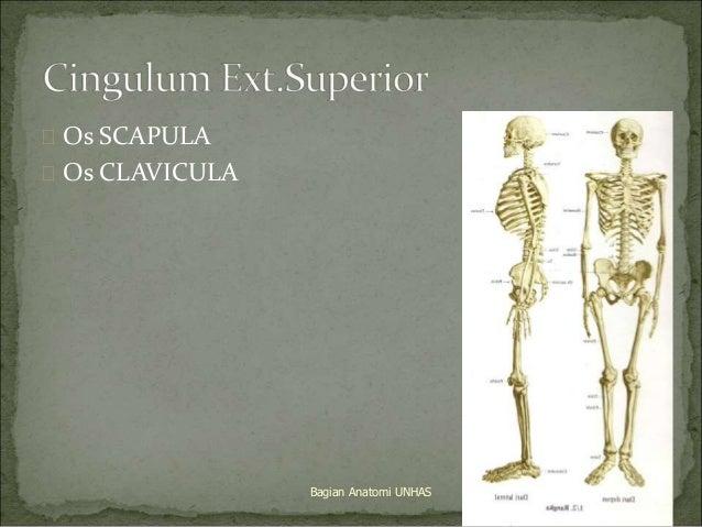  Os SCAPULA   Os CLAVICULA  Bagian Anatomi UNHAS 7