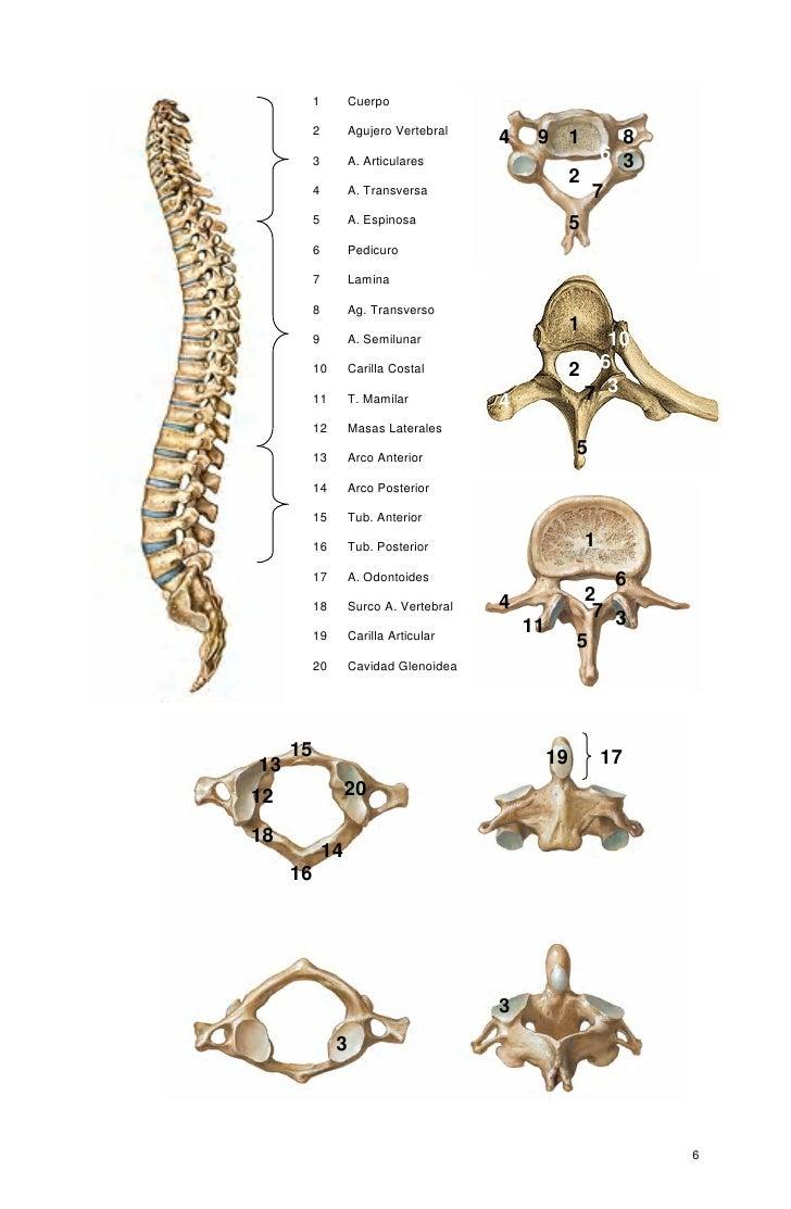osteologia-de-la-columna-vertebral-6-728.jpg?cb=1318795306
