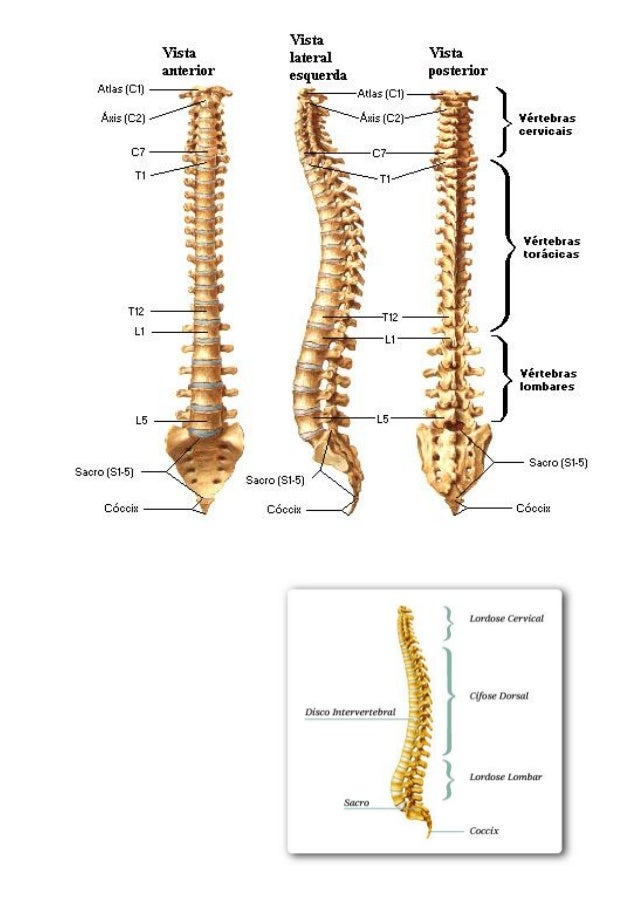 Vistoso Anatomía Esqueleto Axial Embellecimiento - Imágenes de ...