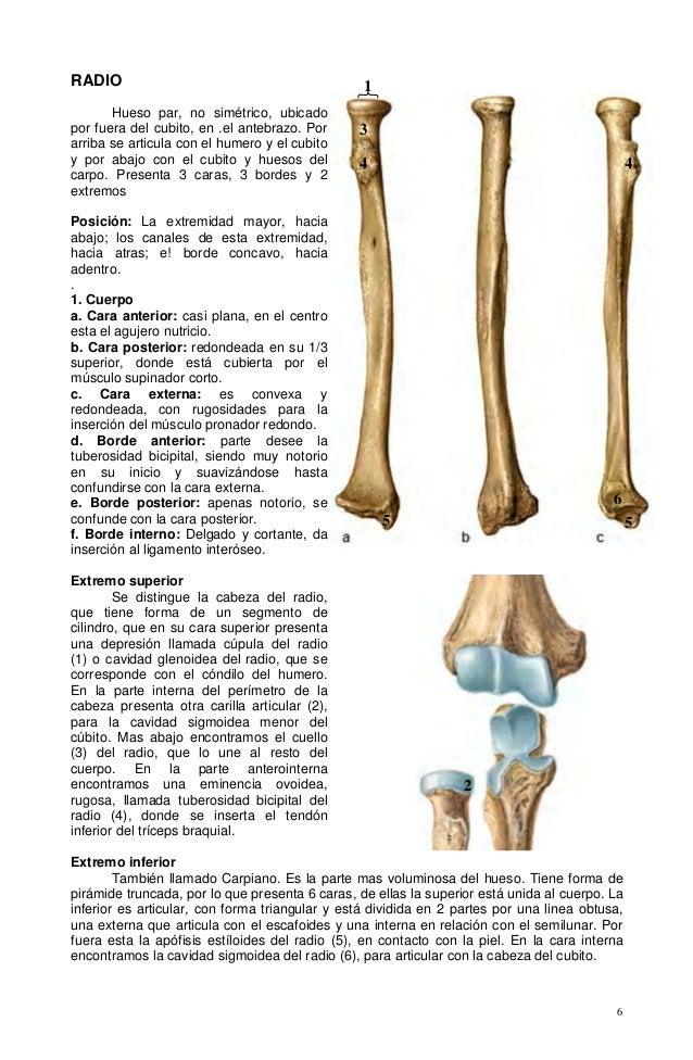 Contemporáneo Anatomía Del Hueso Del Radio Viñeta - Imágenes de ...