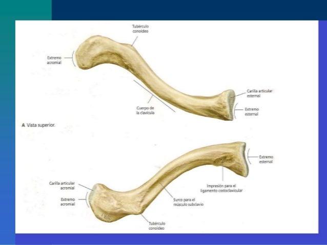 Osteologia miembro superior fusm