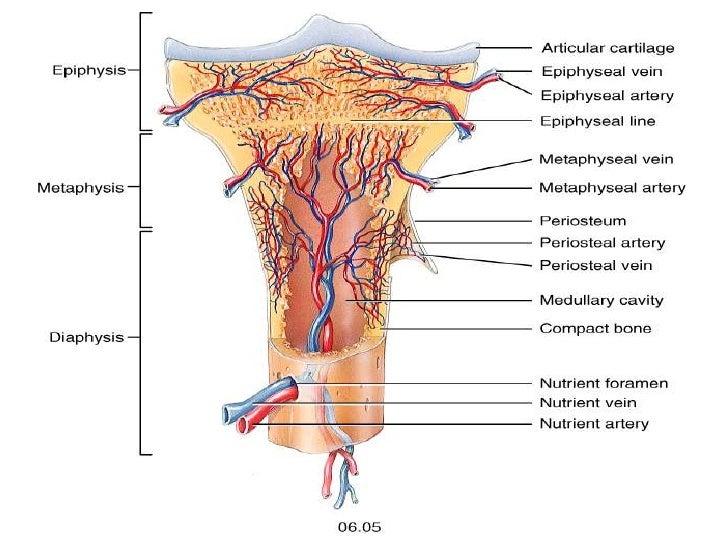 Osteology