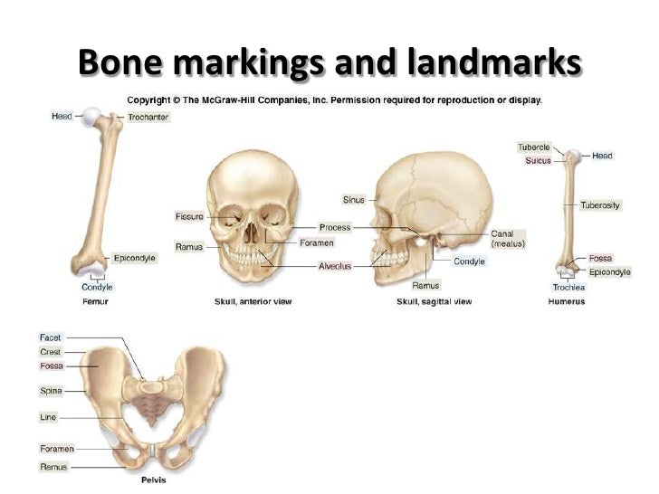 human osteology essay Human anatomy the word anatomy is derived from greek word skeletal system = osteology essay about anatomy of the human body.