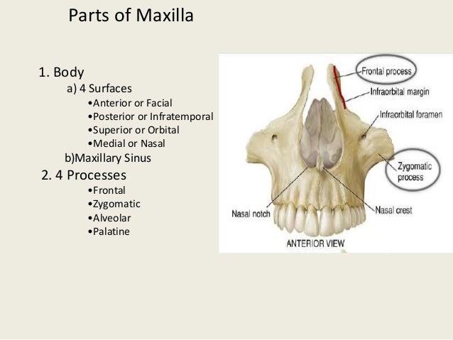frontonasal process 11 parts of maxilla
