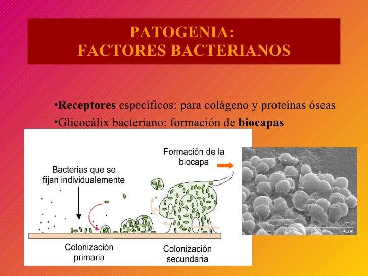 PATOGENIA:  FACTORES BACTERIANOS <ul><li>Receptores  específicos: para colágeno y proteínas óseas </li></ul><ul><li>Glicoc...