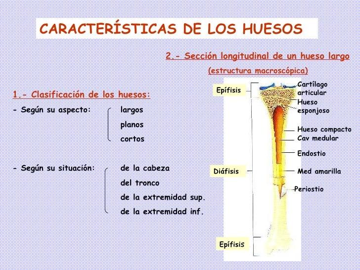 Vistoso Anatomía Macroscópica De Hueso Largo Modelo - Anatomía de ...